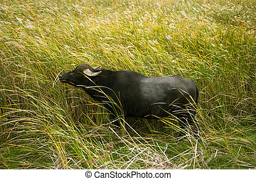 Lonely buffalo on grass, which are on delta of river Evros, Greece