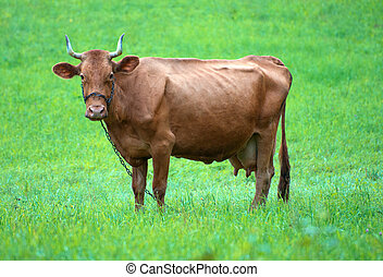Lonely bull grazing in a meadow.