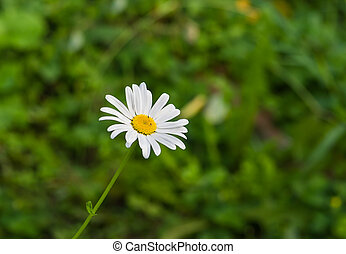 Lonely camomile in summer garden