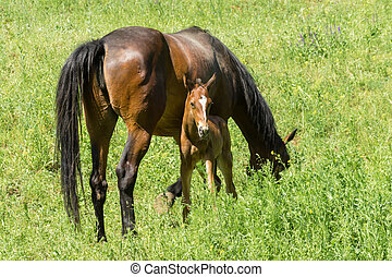 mare with very young foal grazing on a spring pasture