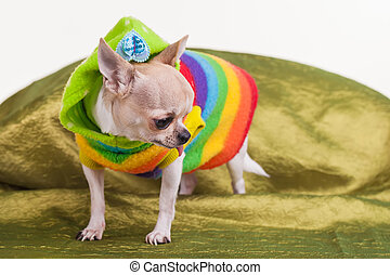 Lonely chihuahua - A dog dressed in green and other colours.
