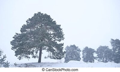 lonely christmas tree pine grow in winter snow storm nature forest landscape