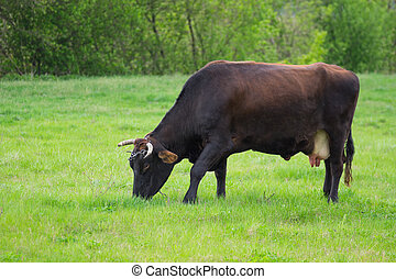 Lonely cow grazing on a spring pasture