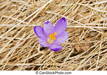 Lonely crocus on a wet spring meadow