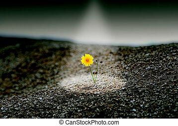 Lonely dandelion - Yellow dandelion on desert of stones in...