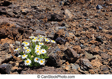 Lonely flower in arid climate of stone volcanic desert, El Teide, Tenerife.