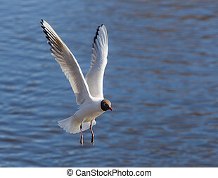 seagull over water