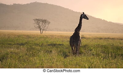 Lonely Giraffe on African Sunset. Oxpeckers on Her Body Eating Parasites
