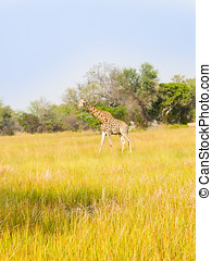 Lonely giraffe on plains in Africa, green yellow grass with acacia trees behind.