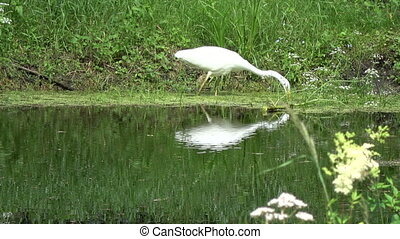 Lonely great white heron Egretta alba on lake coast - Lonely...