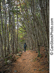 Lonely hiker walking in forest of Tierra del Fuego, Patagonia