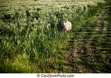 Lonely Icelandic sheep grazing in the field.