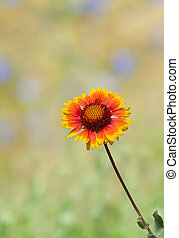Lonely Indian blanket flower and summer colorful background