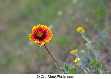 Lonely Indian blanket flower in wild field
