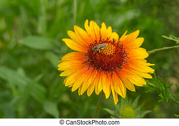 Lonely Indian blanket flower with tiny insect gathering nectar on