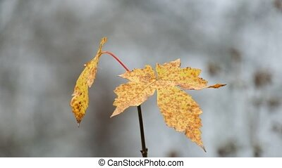 Lonely leaf of the field maple fluttered in the wind (Acer...