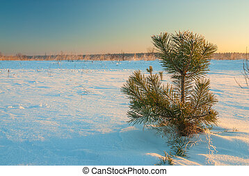 lonely little pine tree in a snowy field on a sunny day