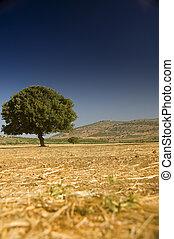 lonely oak in a field