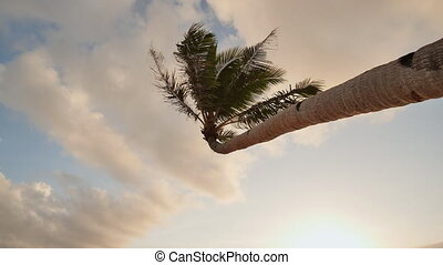 Lonely palm hanging on the beach during sunrise on Boracay. White beach at Boracay island, Philiphines. Shooting in motion.