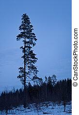 pine in blue night