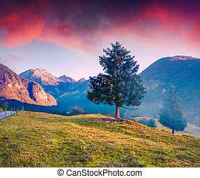 Lonely pine in the foggy summer mountains at sunrise.