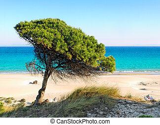 lonely pine tree at the beach of Bolonia, Tarifa, andalusia Spain - costa de la luz
