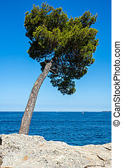 Lonely pine tree by the sea