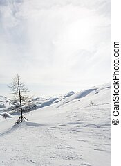 Lonely pine tree on a snow