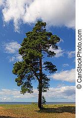 lonely pine tree
