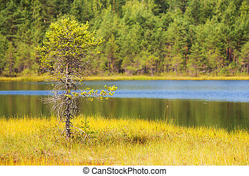 lonely pine tree on the shore