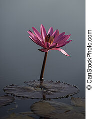 Lonely pink lotus in the lake