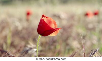 Lonely poppy flower in the spring. Close-up.