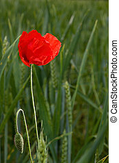 Lonely poppy in wheat field - Red lonely poppy in wheat...