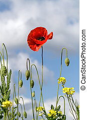 Lonely poppy on a background of yellow flowers and cloudy sky