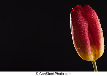 Lonely red flower on a black background