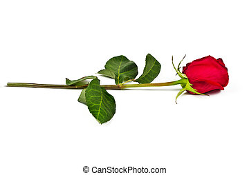 Lone red rose on a white background