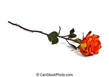 Lonely red-yellow rose on a white background