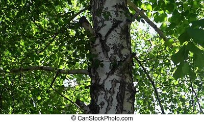 lonely Russian birch on a background of green leaves