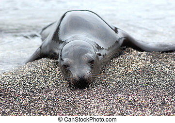 lonely sea lion pup, Galapagos