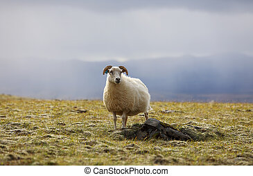 Lonely sheep grazing on high meadows