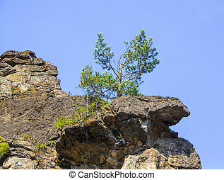 Lonely small pine grows on a rocky cliff