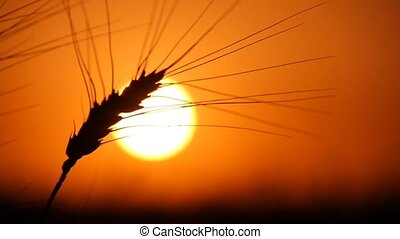 Lonely spike of ripe wheat sparks under the rays of a...