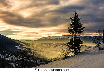 lonely spruce tree on hillside at sunrise. gorgeous winter...