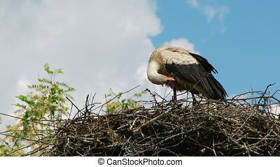 Lonely Stork Cleaning Itself In The Nest
