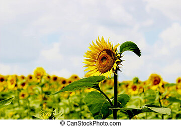Lonely sunflower
