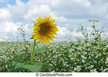 Lonely sunflower inside of buckwheat field