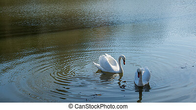 Lonely swans live in the pond