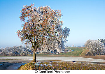 Lonely tree covered with frost