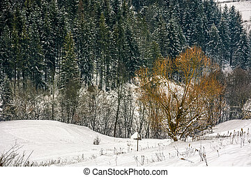 lonely tree in front of spruce forest in snow - lonely tree...