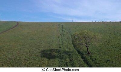 lonely tree in summer field. Flight over meadow grass field...